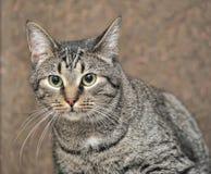 European shorthair cat portrait. Striped european shorthair cat portrait royalty free stock photo