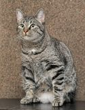 European shorthair cat portrait. Striped european shorthair cat portrait royalty free stock photography