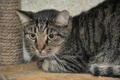 European shorthair cat portrait. Striped european shorthair cat portrait royalty free stock images