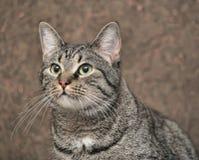 European shorthair cat portrait. Striped european shorthair cat portrait stock images