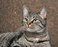 European shorthair cat portrait. Striped european shorthair cat portrait stock photos
