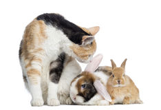 European Shorthair cat with rabbits, isolated Royalty Free Stock Image