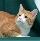 European Shorthair cat Stock Photography
