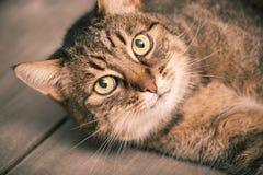 European shorthair cat resting Stock Images
