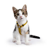 European shorthair cat sitting up on white background wearing yellow harnas