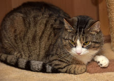 European Shorthair cat Royalty Free Stock Image