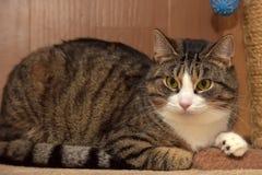 European Shorthair cat Royalty Free Stock Photos