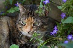 European shorthair with flowers in the garden. Cat with purple flowers in the garden Stock Photos