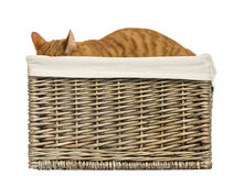 European shorthair hiding in a wicker basket Stock Image