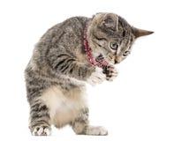 European Shorthair kitten playing, isolated on white Stock Photos