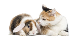 European shorthair and lop rabbit, isolated. On white stock photography