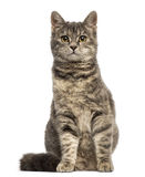 European Shorthair (6 months old) sitting Royalty Free Stock Photos