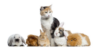 European shorthair with rabbits and Guinea pigs in a row. Isolated on white Stock Photos