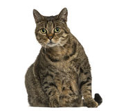 European shorthair sitting, looking at the camera, isolated Stock Image