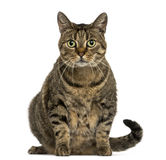 European shorthair sitting, looking at the camera, isolated Stock Photo