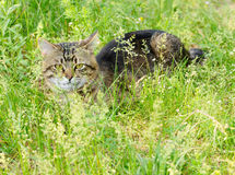 European Shorthair striped cat Royalty Free Stock Image