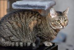 European Shorthair tabby cat Royalty Free Stock Photography