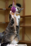 European Shorthair tabby cat catches a toy on a string while standing on its hind legs royalty free stock photo