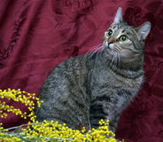 European shorthair tabby cat on a red background Royalty Free Stock Images