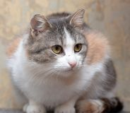 European shorthair tricolor cat stock photos