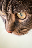 European shorthaired cat. Portrait of a cat with green eyes stock images