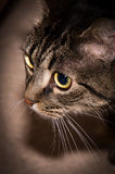 European shorthaired cat. Portrait of a cat with green eyes royalty free stock photo