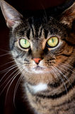European shorthaired cat. Royalty Free Stock Photo