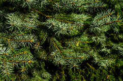 European silver fir (Abies alba) Stock Photo