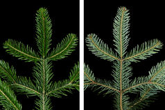 European silver fir branch upper side over black. European silver fir branch upper side on black background. Foliage of Abies alba, an evergreen coniferous tree Stock Photography
