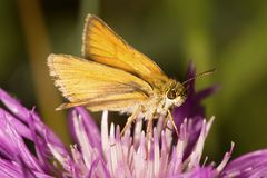 European skipper butterfly foraging on a bergamot flower in New stock image
