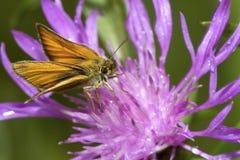 European skipper butterfly foraging on a bergamot flower in New. Small, gold, European skipper butterfly, Thymelicus lineola, foraging on a bergamot flower royalty free stock photography