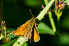 European Skipper Butterfly - Thymelicus lineola royalty free stock image