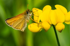 European Skipper Butterfly - Thymelicus lineola stock photo