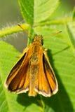 European Skipper Butterfly - Thymelicus lineola. European Skipper Butterfly resting on a leaf. High Park, Toronto, Ontario, Canada Stock Photos