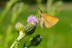 European Skipper Butterfly - Thymelicus lineola. European Skipper Butterfly collecting nectar from a purple Thistle flower. Taylor Creek Park, Toronto, Ontario Stock Images
