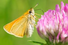 European Skipper Butterfly - Thymelicus lineola. European Skipper Butterfly collecting nectar from a Red Clover flower. High Park, Toronto, Ontario, Canada Royalty Free Stock Photo