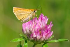 European Skipper Butterfly - Thymelicus lineola. European Skipper Butterfly collecting nectar from a Red Clover flower. High Park, Toronto, Ontario, Canada Stock Images
