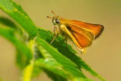 European Skipper Butterfly - Thymelicus lineola. European Skipper Butterfly resting on a leaf. High Park, Toronto, Ontario, Canada Royalty Free Stock Photo