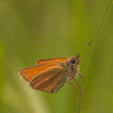 European Skipper Closeup Royalty Free Stock Photography