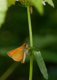 European Skipper Stock Photography