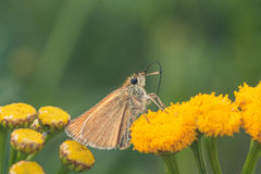 European Skipper on Tansy Flower royalty free stock photography