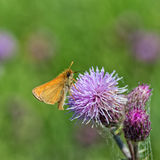 European Skipper on Thistle. Ventral view of a European Skipper resting on a thistle Stock Photo