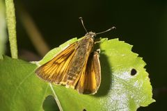 European skipper butterfly in a New Hampshire bog. European skipper, Thymelicus lineola, on a leaf in the Philbrick-Cricenti Bog in New London, New Hampshire stock images