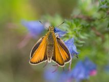 European skipper (Thymelicus sylvestris) Royalty Free Stock Image