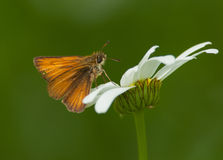 European Skipper Stock Images