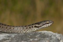 European smooth snake (Coronella austriaca). In a threatening Royalty Free Stock Photo