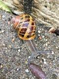 European snail Cornu aspersum. On a rainy day stock photo
