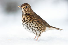 European Song Thrush Deep in Winter Snow. European Song Thrush Alert Deep in Winter Snow stock photo