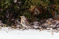 European Song Thrush Deep in Winter Snow. Looking for food royalty free stock photography