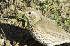European Song Thrush portrait Turdus philomelos Royalty Free Stock Images